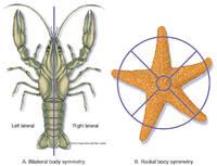 Adult Body Symmetry