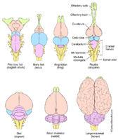 Vertebrate Brain Evolution