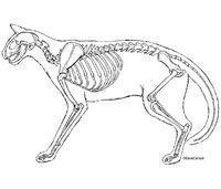 Cat Skeleton - line art