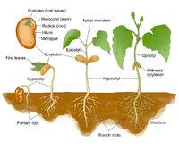 Dicot Germination - Bean Seedling