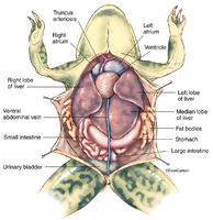 Frog Anatomy Overview 1