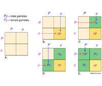 Genetics - Punnett Square