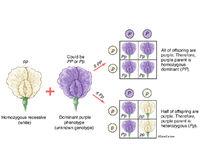 Genetics - Gregor Mendel's Test Cross