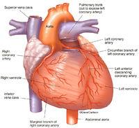 Coronary Arteries - Anterior Heart
