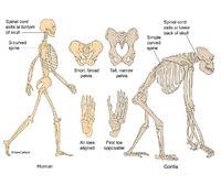 Human & Gorilla Skeletons