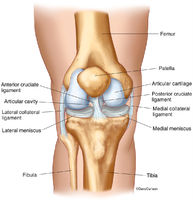 Knee Joint - Front View 2