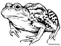 Leopard Frog Illustration