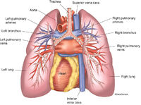 Lungs & Heart - Posterior View