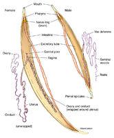 Roundworm Anatomy