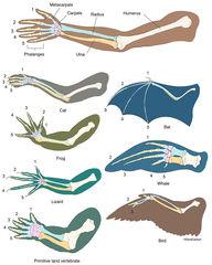 Homology of Limbed Vertebrates