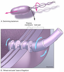 illustration, flagellum, Latin for whip, locomotion, unicellular organisms, bacteria,  protozoans, sperm cells, structure