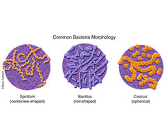 three shapes of bacteria, spirillum (corkscrew), bacillus (rod), coccus (sphere), morphology