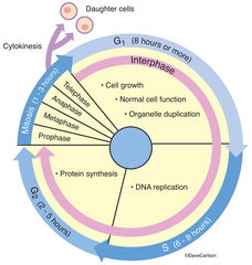 cell cycle, asexual reproduction, stages within a cell, cell division, cytokinesis, daughter cells
