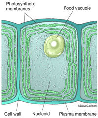 ​Cyanobacteria, cells, energy-producing, photosynthetic membranes,  chloroplasts, green plants, cell structure