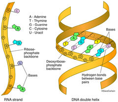 illustration, structural components, building blocks, DNA, deoxyribonucleic acid, RNA, ribonucleic acid, structure