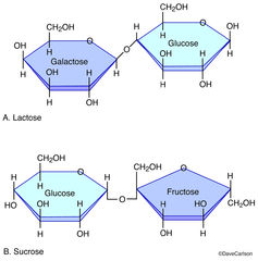 disaccharide molecules, sucrose, lactose, combinations of two monosaccharide molecules