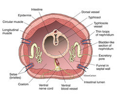 Cross section, annelid, segmented worm, earthworm, anatomy