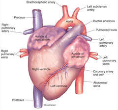 Illustration, anterior view, fetal pig heart