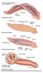 illustration, anatomy, flatworm, genus planaria, planarian
