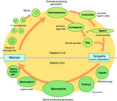 genetics, diagram, alternation of generations, metagenesis,  life cycle, plants, distinct sexual haploid, asexual diploid stages