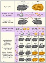 Genetics - Dihybrid Cross