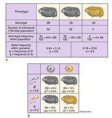 Genetics - Hardy-Weinberg Principle