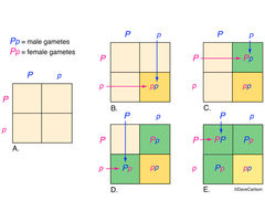 genetics, punnett square, diagram used to predict probability of an offspring having a particular genotype
