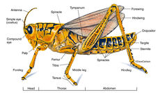 Illustration, external anatomy, structure, grasshopper