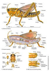 Illustration, external, internal anatomy, structure, grasshopper