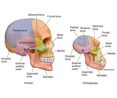 Human and Chimpanzee Skulls