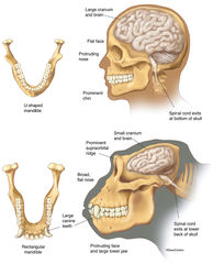 Illustration, comparative anatomy, human, gorilla, skull, brain, heads