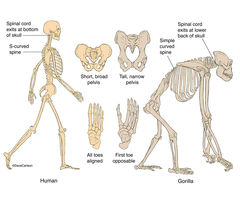 Illustration, human, gorilla, skeletal structure, posture, skeletons