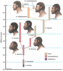 Illustration, evolutionary timeline of Homo sapiens, human family tree