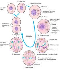 Interphase & Mitosis