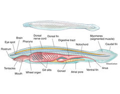 ​Illustration, cephalochordate structure, lancelet, amphioxus, anatomy