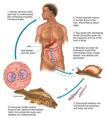 illustration, liver fluke, trematode, life cycle,  parasitic fluke,  phylum platyhelminthes