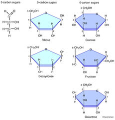 monosaccharides, glucose, fructose, galactose, building blocks of disaccharides and polysaccharides