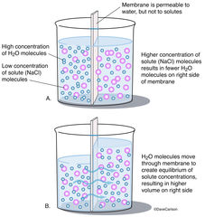 Illustration, osmosis, osmotic pressure, semipermeable membrane, cell wall, cellular fluid