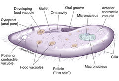 illustration, anatomy, structure, unicellular, paramecium, protozoan