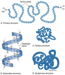 ​illustration, levels of molecular structure of a protein, protein molecule structure