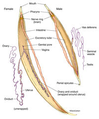 illustration, male female roundworms, phylum nematoda, roundworm