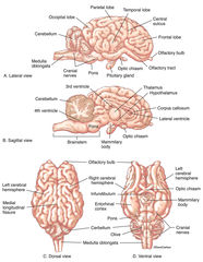 Illustration, four standard brain views, representative large mammal, sheep, brain