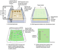 diagram​, gel electrophoresis procedure, reveals information about DNA identity size and quantity, dna sequence, dna sample