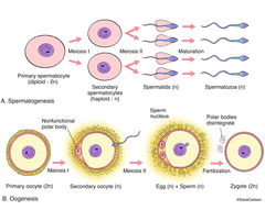 spermatogenesis, production of sperm cells, germ cells, primary spermocytes, oogenesis, combining of sperm and egg cells, fertilized egg, zygote