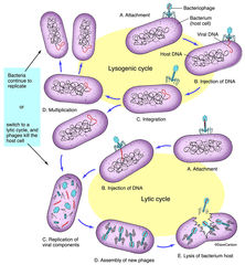 virus, virus life cycle, viruses need to enter hosts cells to grow and reproduce, bacteria, plant, animal, protein coat, dna, rna