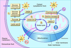 diagram of aerobic respiration, plant cell, process of producing energy involving oxygen