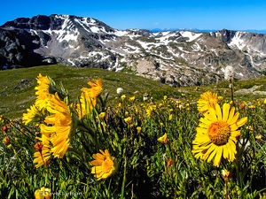 Alpine Sunflower, Hymenoxys grandiflora, tundra wildflower, Old-Man-of-the-Mountain, Boulder-Grand Pass, Rocky Mountain National Park, tundra