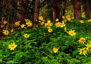 arnica, sunflower, rocky mountain, wildflower, photograph, blue ridge trail, never summer wilderness, colorado