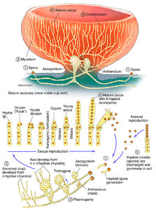 Illustration, structure, life cycle, ascomycete, cup fungus, sac fungus