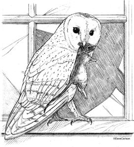 B&W, pencil drawing, barn owl, owl, mouse